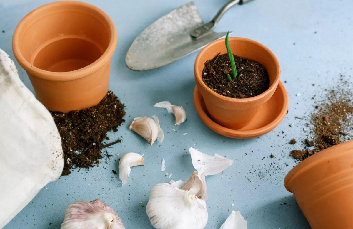 Aprenda a plantar alho dentro de casa