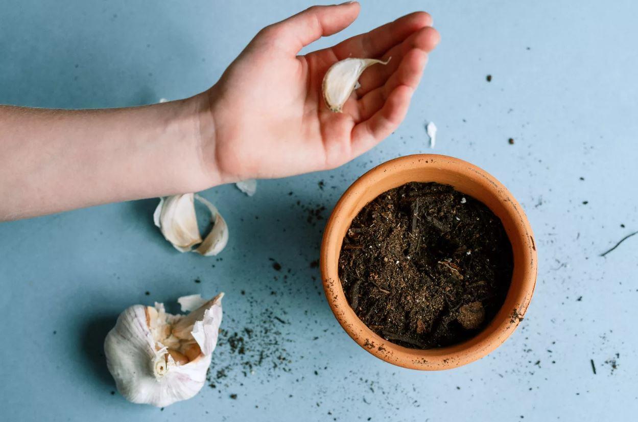 plantar alho casa