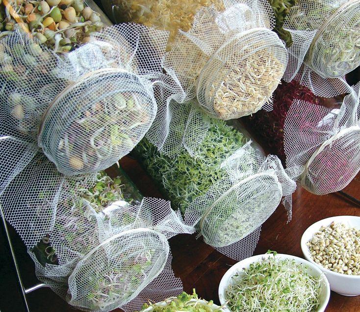 como fazer grãos germinados