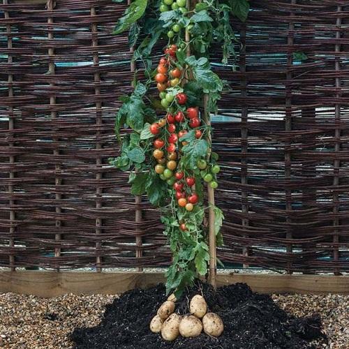 Como cultivar tomate e batata em um só lugar
