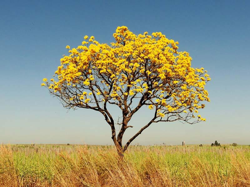 Setembro das flores amarelas