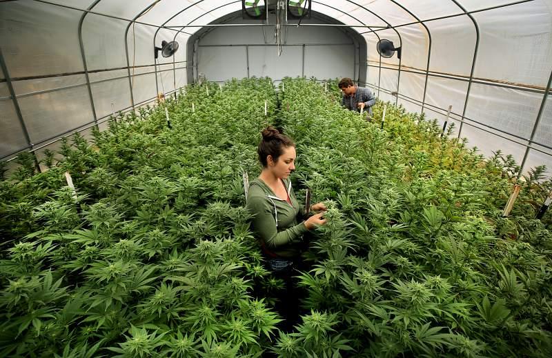 As possibilidades sustentáveis do cultivo de cannabis