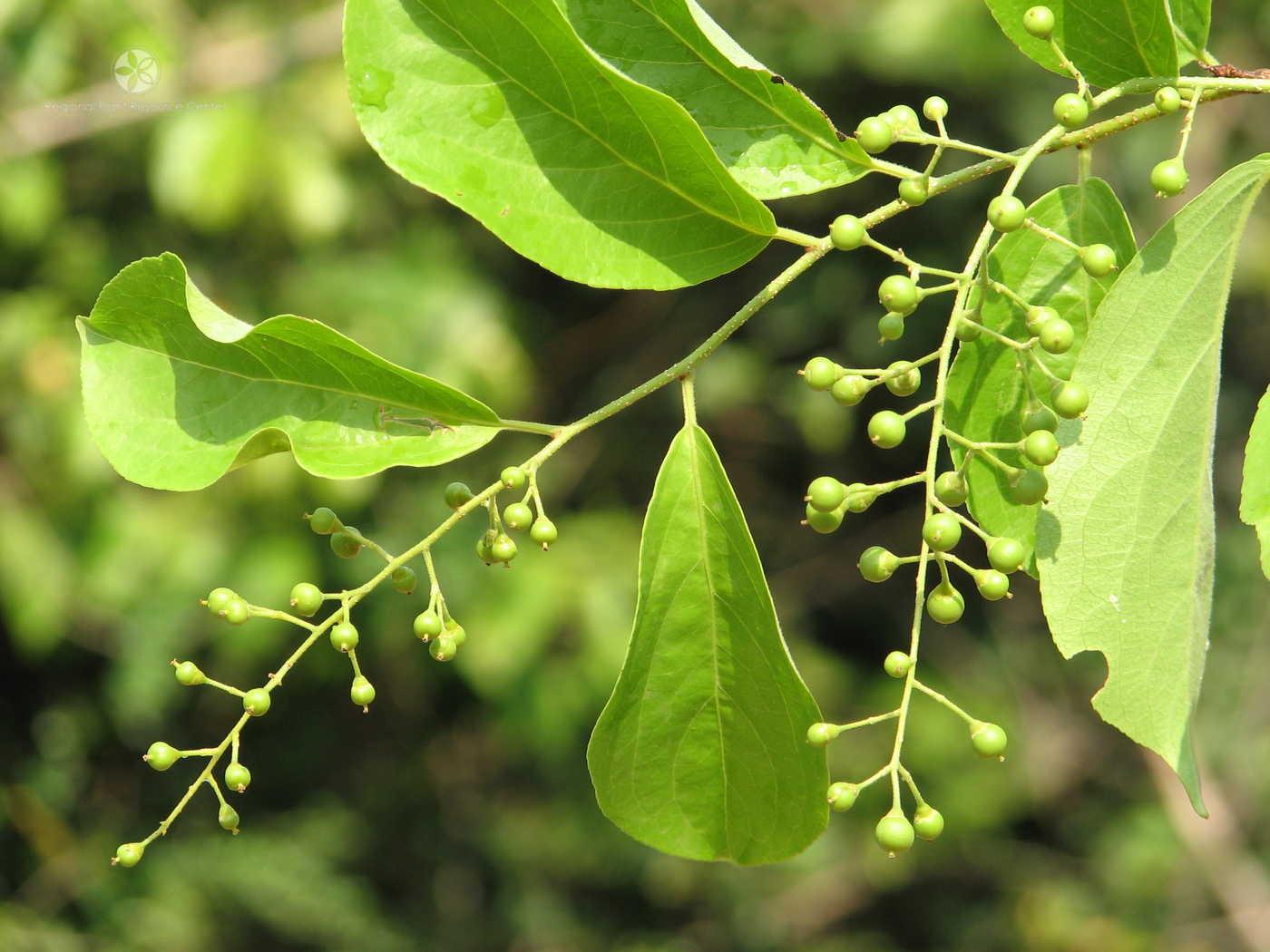 Celastrus Paniculatus