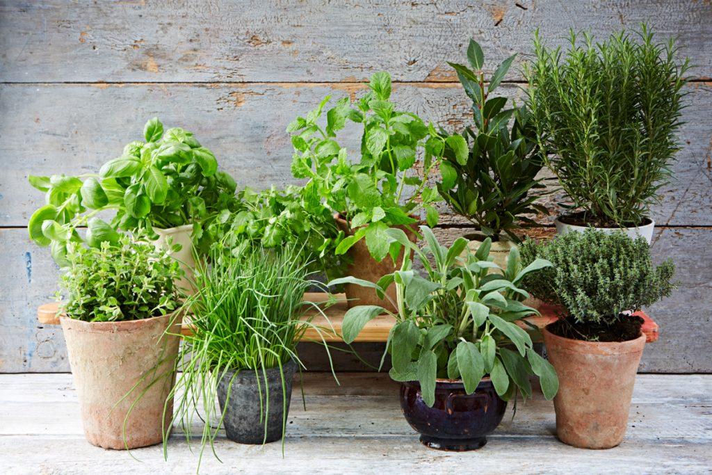 Farmácia Viva – 10 plantas medicinais para ter no jardim