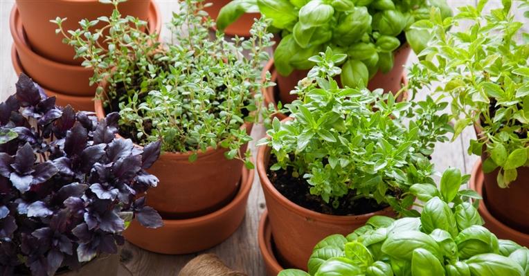 Conheça as ervas aromáticas ideais para espaços pequenos