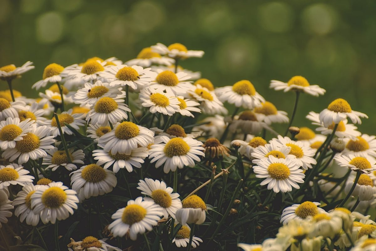 Camomila: o ingrediente inovador da minha rotina de beleza