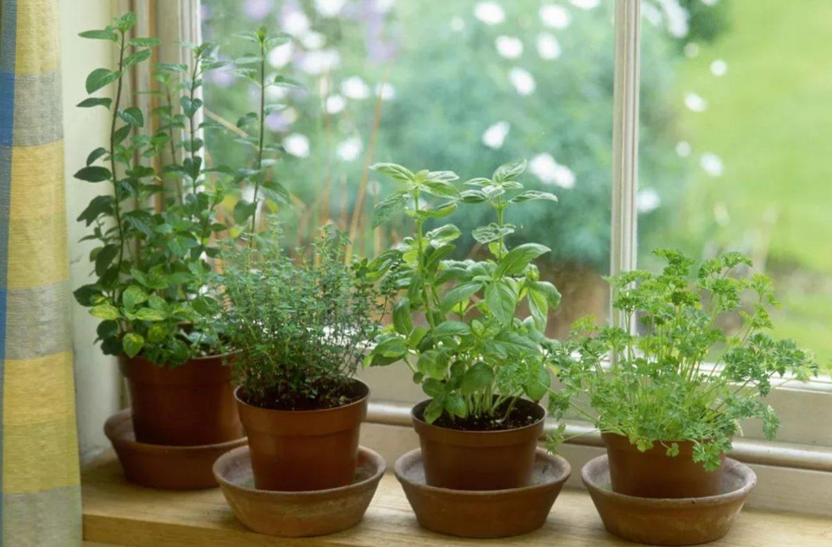 Ervas aromáticas ideais para espaços pequenos