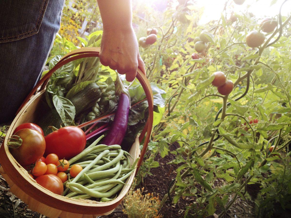 cesta de colheita
