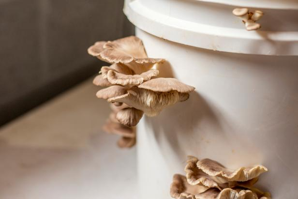 plantar cogumelo em balde