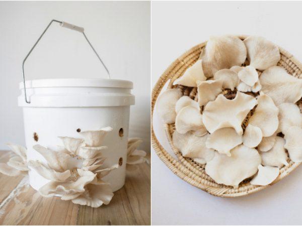 como cultivar cogumelo