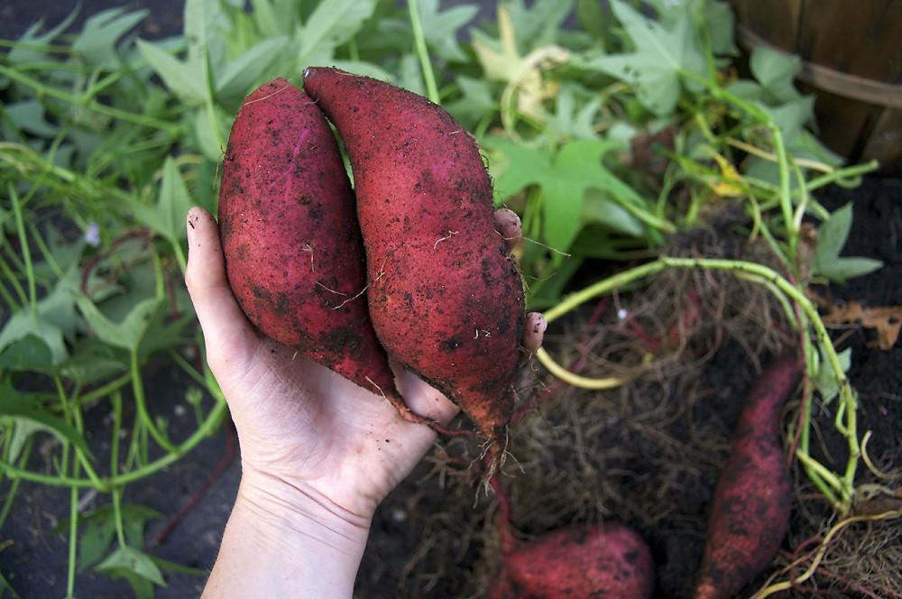 batata plantar horta