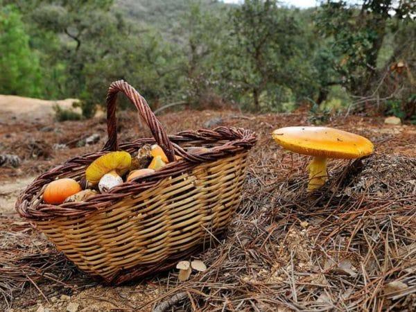 Coleta de cogumelos