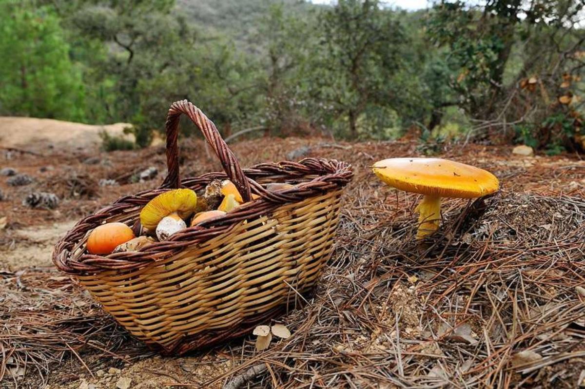 Aprenda identificar e colher 3 cogumelos silvestres na natureza