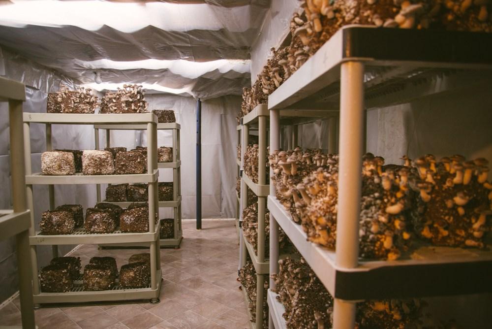 cultivar cogumelos em casa