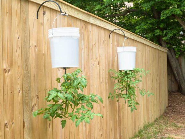 Tomateiros invertidos no balde.