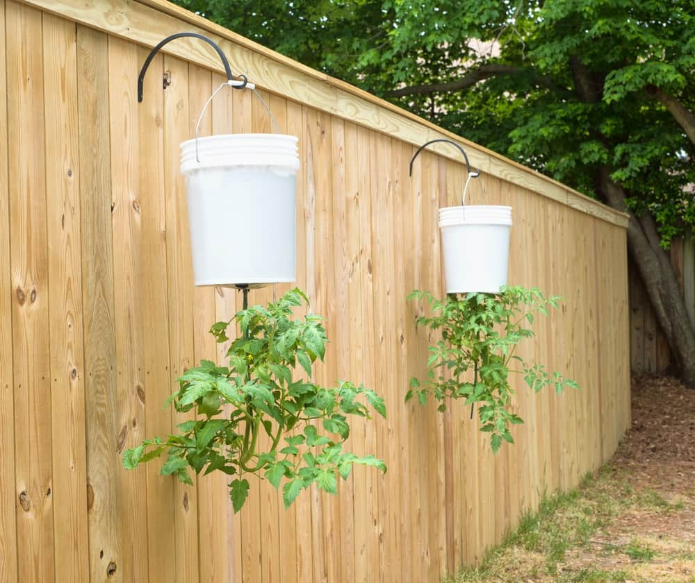 Conheça o método e como plantar tomate invertido