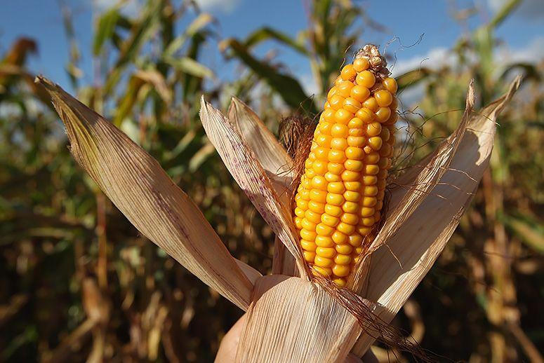milho de cultivo sustentável